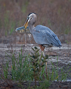 Great Blue Heron Carrying a Fish