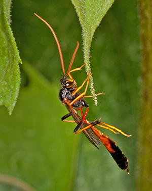 Thread-waisted Wasp