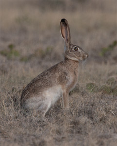 Jackrabbit_20130630_5754_Original